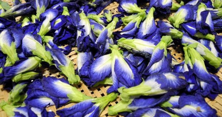 fiore Clitoria ternatea