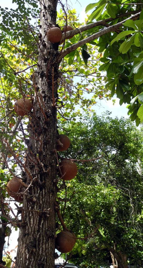 cannon ball tree