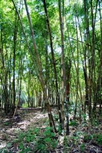 bambu1 200x300 La Thailandia ed il bambù
