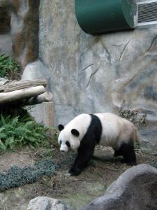 Panda - Zoo di Chiang Mai