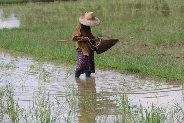 risaia Chiang Mai, Thailandia. Foto Manuela Vitulli
